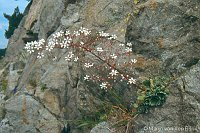 Image of Saxifraga cotyledon by Marijn van den Brink : - click to view the full size picture