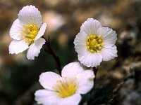 Image of Saxifraga burseriana 'Crenata' by Paul Kennett : - click to view the full size picture