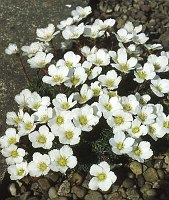 Image of Saxifraga burseriana 'Crenata' by Mike Ireland : - click to view the full size picture