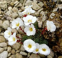 Image of Saxifraga burseriana 'Crenata' by Adrian Young : - click to view the full size picture