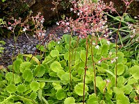 Image of Saxifraga [London Pride Group] 'Dentata' by Paul Kennett : - click to view the full size picture