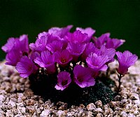 Image of Saxifraga dinnikii by Tim Roberts : - click to view the full size picture