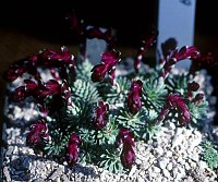 Image of Saxifraga 'Domino' by Tim Roberts : - click to view the full size picture