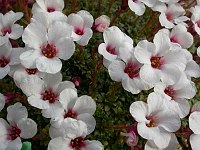 Image of Saxifraga 'Don Giovanni' by Paul Kennett : - click to view the full size picture