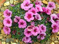 Image of Saxifraga [Blues Group] 'Elvis Presley' by Paul Kennett : - click to view the full size picture