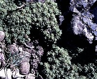 Image of Saxifraga erioblasta by Franz Hadacek : - click to view the full size picture