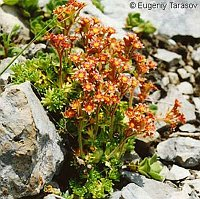 Image of Saxifraga exarata ssp. moschata by Eugeniy Tarasov : - click to view the full size picture