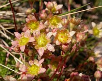 Image of Saxifraga exarata ssp. moschata by Paul Kennett : - click to view the full size picture