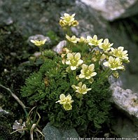 Image of Saxifraga exarata ssp. moschata by Kees Jan van Zwienen : - click to view the full size picture
