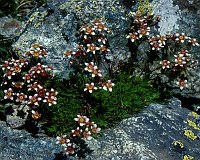 Image of Saxifraga exarata ssp. moschata by Alan Dunkley : - click to view the full size picture
