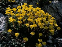 Image of Saxifraga ferdinandi-coburgi by Franz Hadacek : - click to view the full size picture