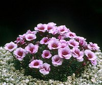 Image of Saxifraga 'Florenc' by Tim Roberts : - click to view the full size picture