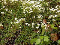 Image of Saxifraga fragilis ssp. fragilis by Paul Kennett : - click to view the full size picture