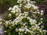 Image of Saxifraga genesiana by Paul Kennett : - click to view the full size picture