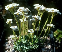Image of Saxifraga G.F.S. 82 by Tim Roberts : - click to view the full size picture