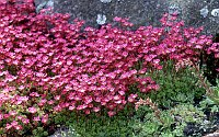 Image of Saxifraga [Mossy Group] 'Glassel's Crimson' by Mike Ireland : - click to view the full size picture