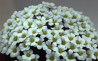 Image of Saxifraga burseriana 'Gloria' by Mike Ireland : - click to view the full size picture