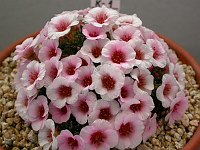 Image of Saxifraga [Literary Group] 'Golem' by Paul Kennett : - click to view the full size picture