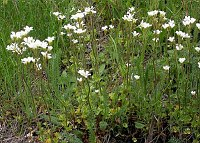 Image of Saxifraga granulata by Paul Kennett : - click to view the full size picture
