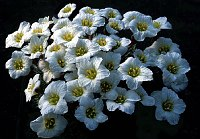 Image of Saxifraga 'Hanicka' by Franz Hadacek : - click to view the full size picture