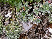 Image of Saxifraga hostii by Paul Kennett : - click to view the full size picture