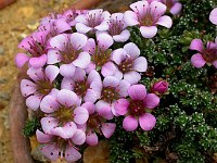 Image of Saxifraga oppositifolia 'Iceland' by Paul Kennett : - click to view the full size picture