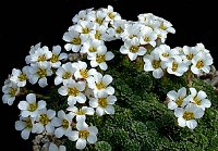 Image of Saxifraga iranica by Franz Hadacek : - click to view the full size picture