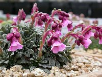 Image of Saxifraga [Honor Group] 'John Byam-Grounds' by Paul Kennett : - click to view the full size picture