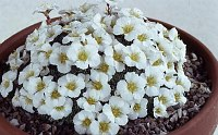 Image of Saxifraga burseriana 'John Tomlinson' by Mike Ireland : - click to view the full size picture