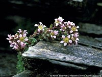 Image of Saxifraga x kochii by Kees Jan van Zwienen : - click to view the full size picture