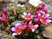 Image of Saxifraga x kochii by Paul Kennett : - click to view the full size picture