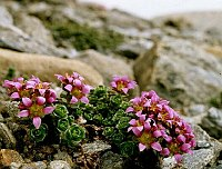 Image of Saxifraga x kochii by Dr. Herbert Wagner : - click to view the full size picture