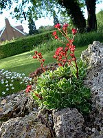 Image of Saxifraga kolenatiana by Mark Childerhouse : - click to view the full size picture