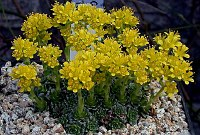 Image of Saxifraga kotschyi by Franz Hadacek : - click to view the full size picture