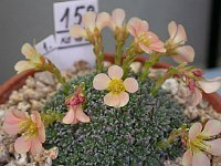 Image of Saxifraga [Ethography Group] unreleasd cv. by Paul Kennett : - click to view the full size picture