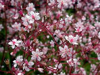 Image of Saxifraga [London Pride Group] 'London Pride' by Paul Kennett : - click to view the full size picture