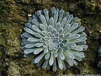 Image of Saxifraga longifolia by Tony Goode : - click to view the full size picture