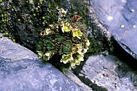 Image of Saxifraga magellanica by Ger van den Beuken : - click to view the full size picture