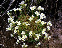 Image of Saxifraga magellanica by Mark Childerhouse : - click to view the full size picture