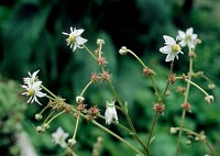 Image of Saxifraga mertensiana by Paul Kennett : - click to view the full size picture