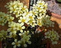 Image of Saxifraga [Harmonie Group] 'Mirko Webr' by Paul Kennett : - click to view the full size picture