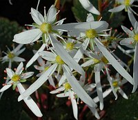 Image of Saxifraga fortunei 'Mount Nachi' by Mike Ireland : - click to view the full size picture