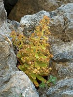 Image of Saxifraga mutata ssp. demissa by Răzvan Chişu : - click to view the full size picture