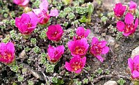 Image of Saxifraga oppositifolia ssp. oppositifolia by Paul Kennett : - click to view the full size picture