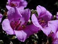 Image of Saxifraga oppositifolia ssp. oppositifolia by Tony Goode : - click to view the full size picture