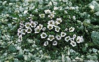 Image of Saxifraga oppositifolia ssp. oppositifolia by Kees Jan van Zwienen : - click to view the full size picture