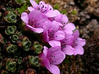 Image of Saxifraga oppositifolia ssp. blepharophylla by Paul Kennett : - click to view the full size picture
