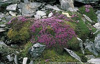 Image of Saxifraga oppositifolia ssp. blepharophylla by Kees Jan van Zwienen : - click to view the full size picture