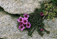 Image of Saxifraga blepharophylla by Kees Jan van Zwienen : - click to view the full size picture