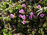 Image of Saxifraga oppositifolia ssp. glandulisepala by Malcolm McGregor : - click to view the full size picture